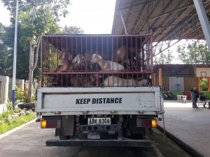97 Heads Goats Given to Pañalum Halal Meat & Dairy Goat Raisers Association